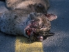 close_up-roadkilled_bobcat-24