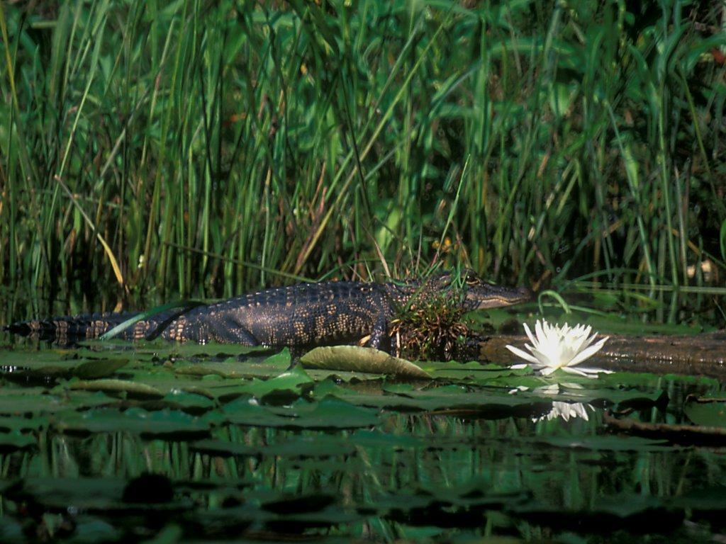 19-30-aligator_on_log-try_2