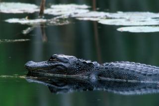 aligator-8-work-1280x857
