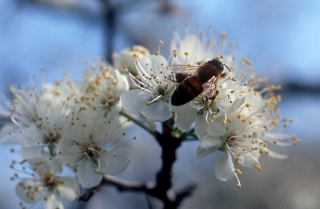 mexican_plum_flower-3