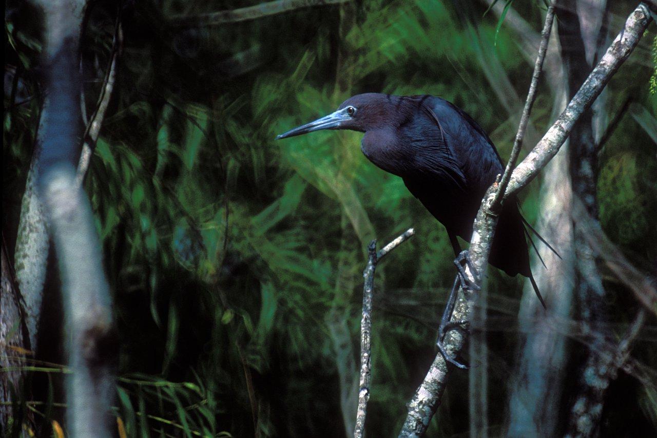 little_blue_heron_in_tree-4-redo