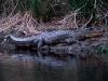 aligator-1-work-1280x857