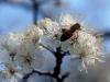 mexican_plum_flower-3