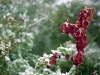 red_tallow_tree_leaves-snow-012