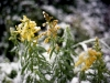 snow_falling_on_marigolds-snow-003